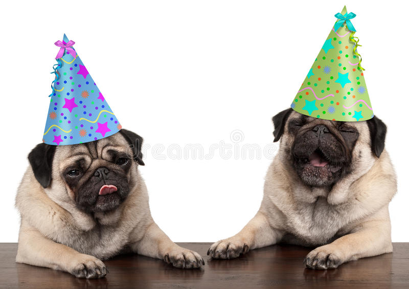 Adorable cute pug dog puppies singing and wearing birthday hat royalty free stock photography