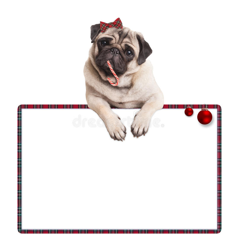 Adorable cute pug puppy dog eating candy cane, hanging on blank sign with red baubles, on white background royalty free stock photo