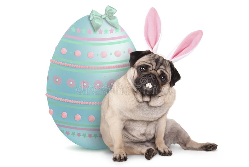 Adorable cute pug puppy dog sitting down next to pastel colored easter egg, wearing bunny ears and teeth stock photo
