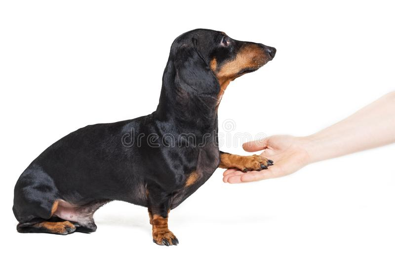 Adorable dachshund dog, black and tan, gives paw his owner closeup with human hand, isolated on white background stock images