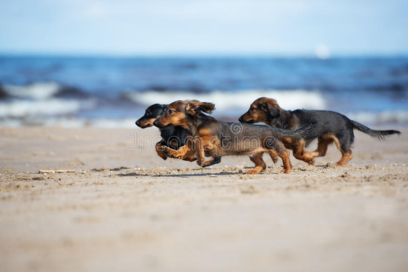 Adorable dachshund puppies running on the beach royalty free stock images