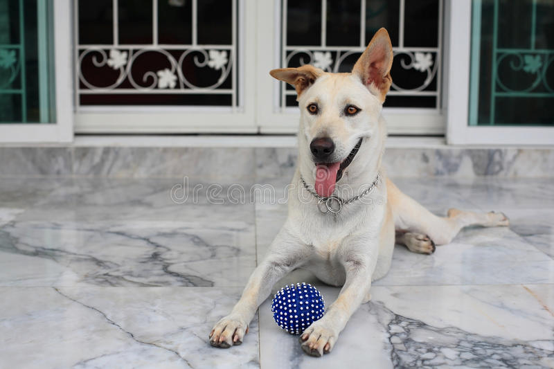 Adorable Dog With Blue Ball Stock Image