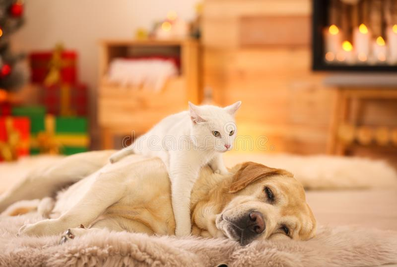 Adorable dog and cat together at room for Christmas. Cute pets stock photo