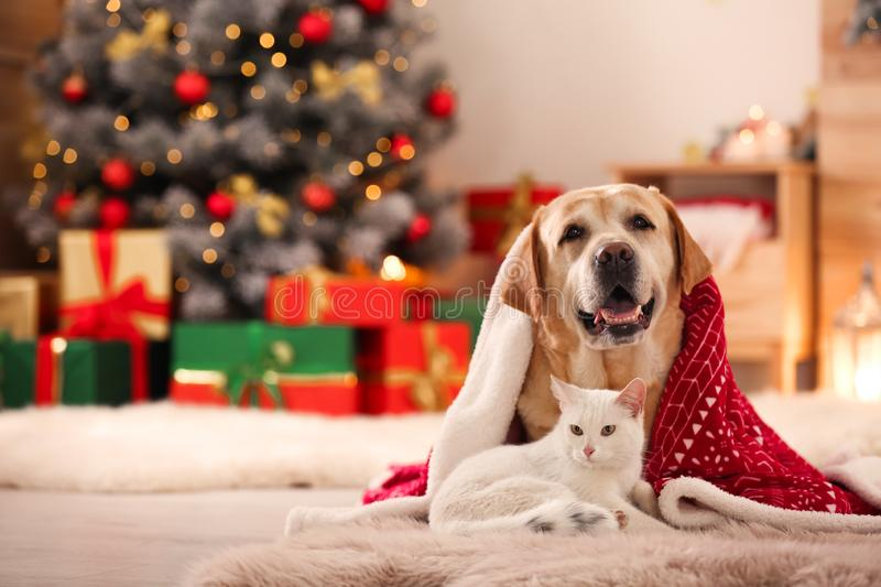 Adorable dog and cat together under blanket at room decorated for Christmas stock images