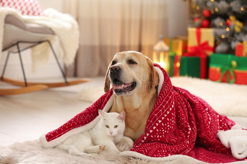 Adorable dog and cat together under blanket at room decorated for Christmas royalty free stock photography