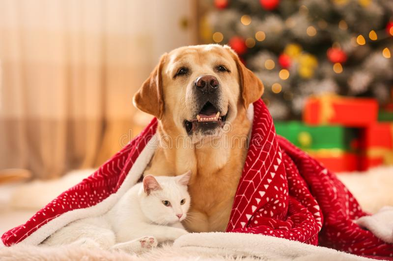 Adorable dog and cat together under blanket at room decorated for Christmas royalty free stock photos