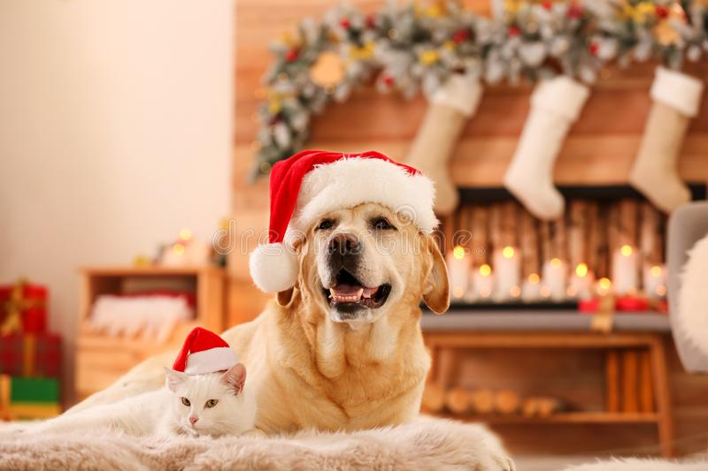 Adorable dog and cat wearing Santa hats together at room decorated for Christmas royalty free stock photos