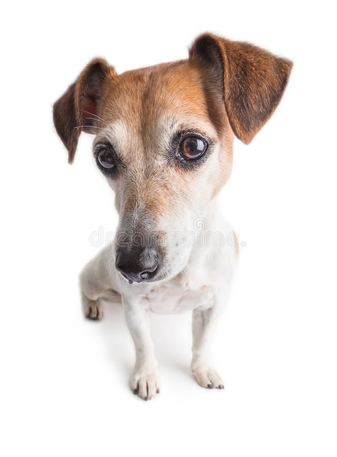 Adorable dog portrait Jack Russell terrier big eyes. Adorable dog portrait. Wide lens angle. White background. Pretty mizzle look stock photo