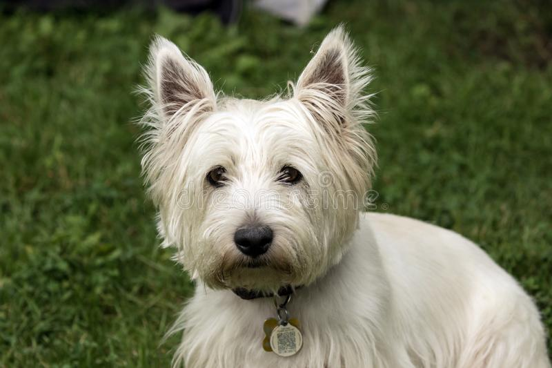 Adorable dog,West Highland White Terrier royalty free stock images