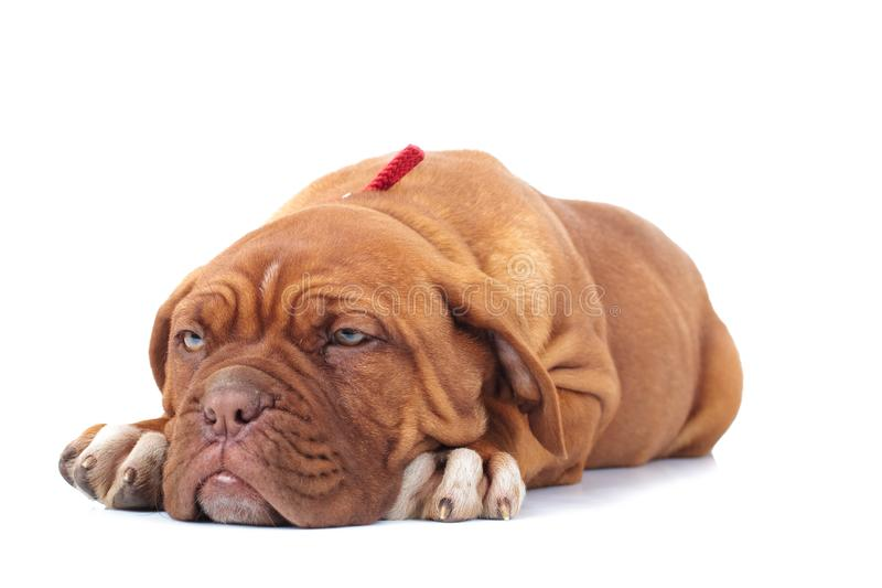 Adorable dogue de bordeaux puppy looks very sleepy royalty free stock image