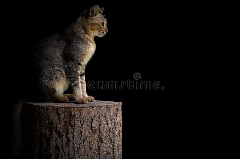 Adorable domestic cat sits on timber with shining light isolated on black background with space for text royalty free stock photo