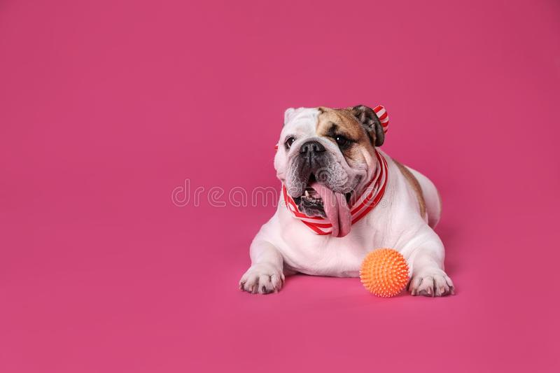 Adorable English bulldog with  on pink background, space for text royalty free stock photo