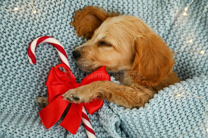 Adorable English Cocker Spaniel puppy sleeping near candy cane on blue knitted blanket. Winter season royalty free stock photos