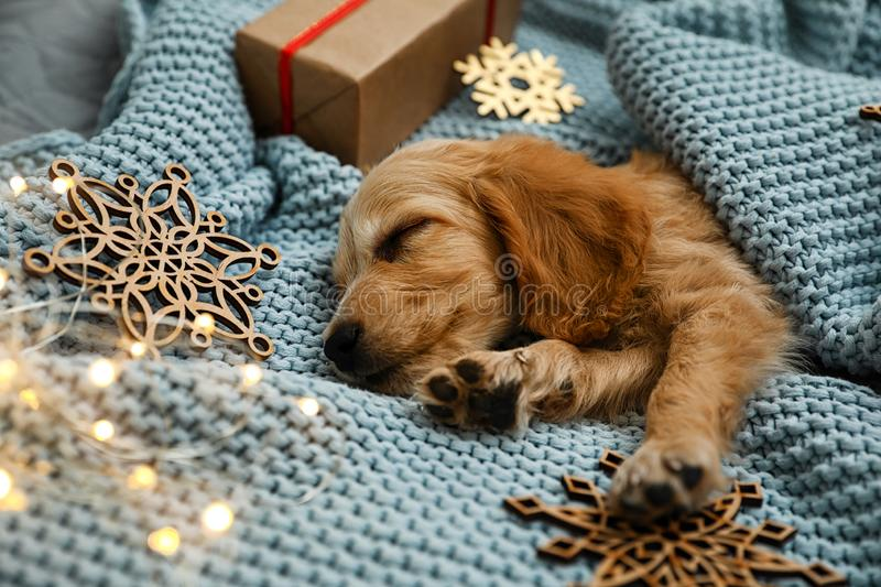 Adorable English Cocker Spaniel puppy sleeping near Christmas decorations on knitted blanket. Winter season royalty free stock images