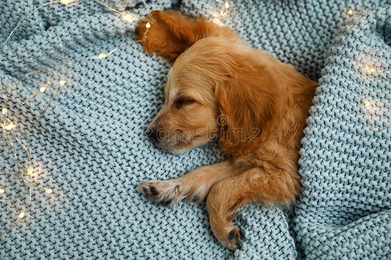 Adorable English Cocker Spaniel puppy sleeping near garland on blue knitted blanket. Winter season stock image