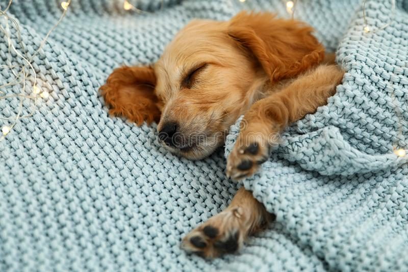 Adorable English Cocker Spaniel puppy sleeping near garland on knitted blanket. Winter season royalty free stock image