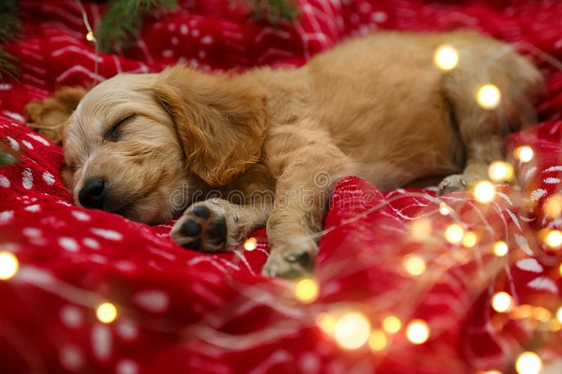 Adorable English Cocker Spaniel puppy sleeping near garland on red blanket. Winter season royalty free stock images