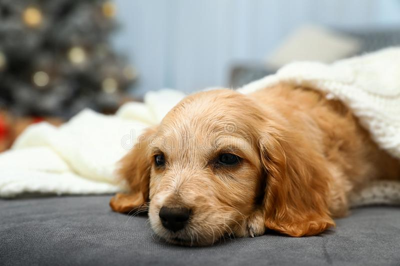 Adorable English Cocker Spaniel puppy on sofa. Winter season stock photos