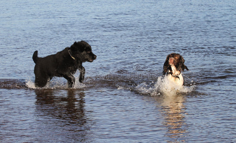 An adorable English Springer Spaniel dog and a cute Newfoundland dog puppy, playing in the sea in Scotland. royalty free stock images