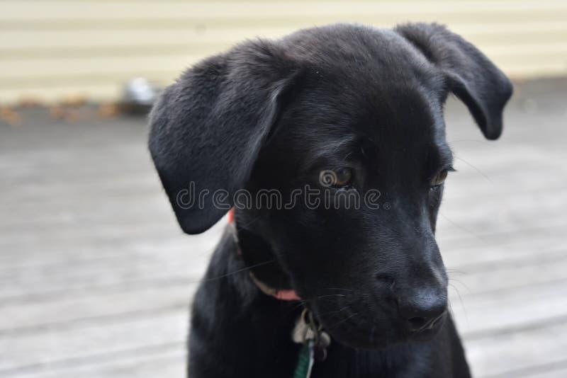 Amazing Lab Black Adorable Dog - adorable-face-black-lab-puppy-dog-super-cute-labrador-98009419  Best Photo Reference_904574  .jpg