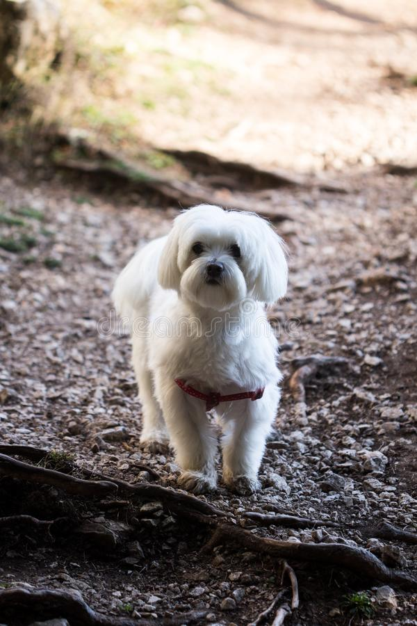 Adorable Female Maltese Puppy Portrait stock images