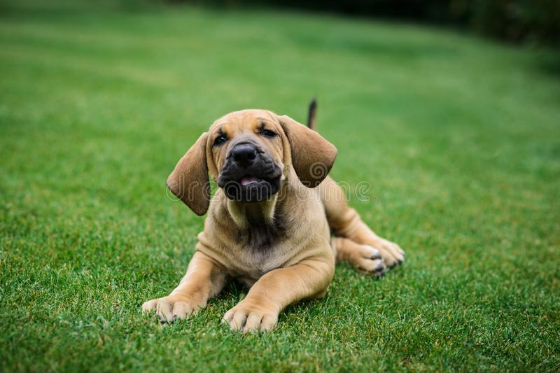 Adorable Fila Brasileiro puppy portrait. Cute Fila Brasileiro Brazilian Mastiff puppy lying on grass royalty free stock photography