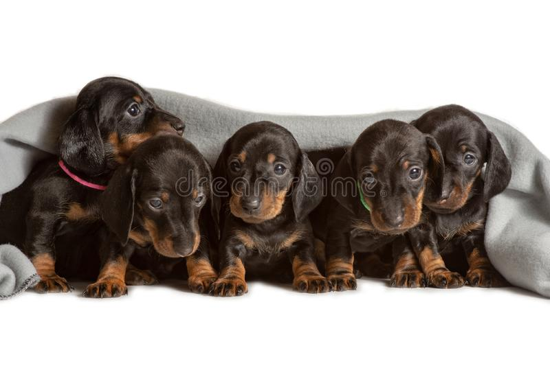 Adorable five dachshund puppies looks out from under the soft warm blanket. Bask in bed. Hiding from the cold stock photography