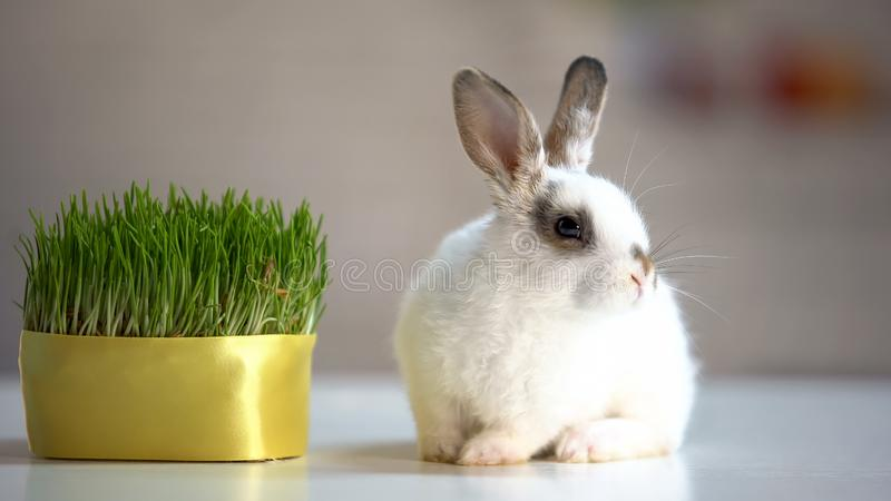 Adorable fluffy bunny sitting on table near green plant, herbal pet nutrition. Stock photo stock photos