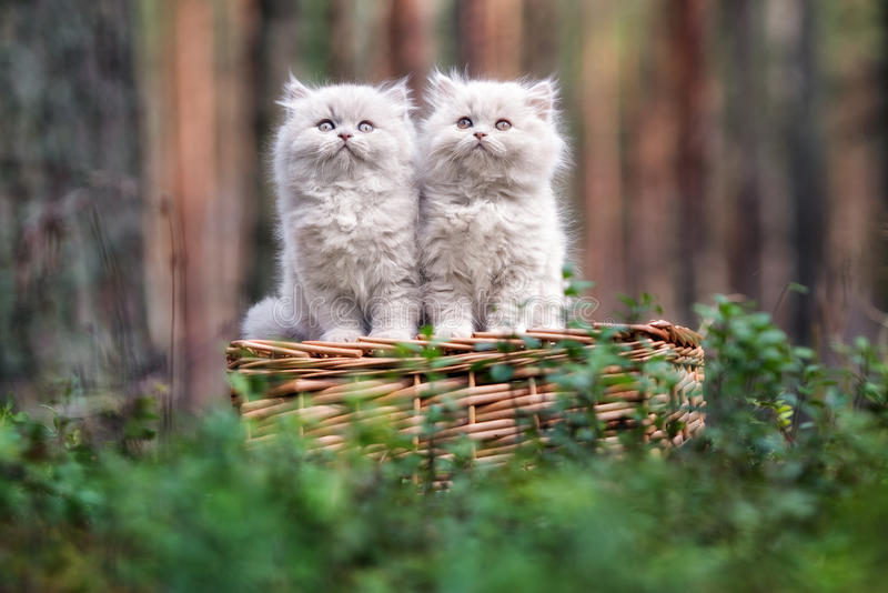 Adorable fluffy kittens outdoors. Fluffy kittens posing outdoors in autumn stock images