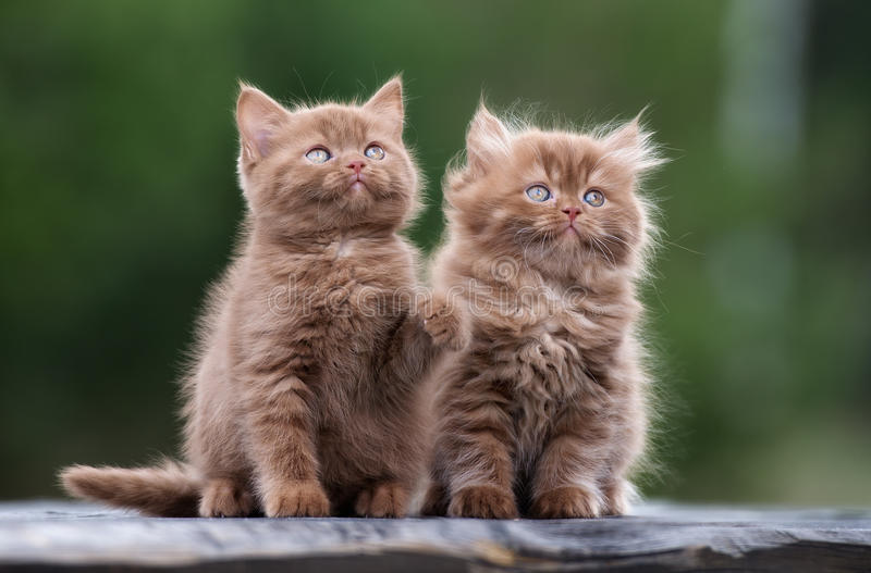Adorable fluffy kittens outdoors. Fluffy kittens posing outdoors in autumn stock photos
