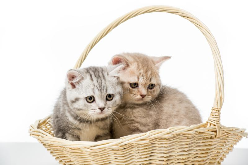 Adorable fluffy kittens sitting in wicker basket. Isolated on white stock images