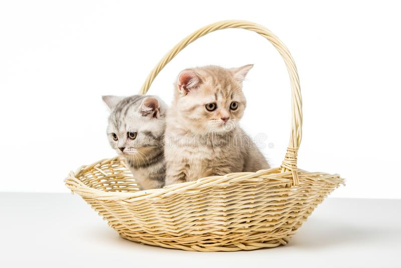 Adorable fluffy kittens sitting in wicker basket. On table top stock image
