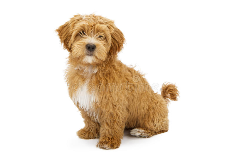 Adorable Fluffy Puppy Sitting. A cute little Havanese puppy sitting and looking forward stock images
