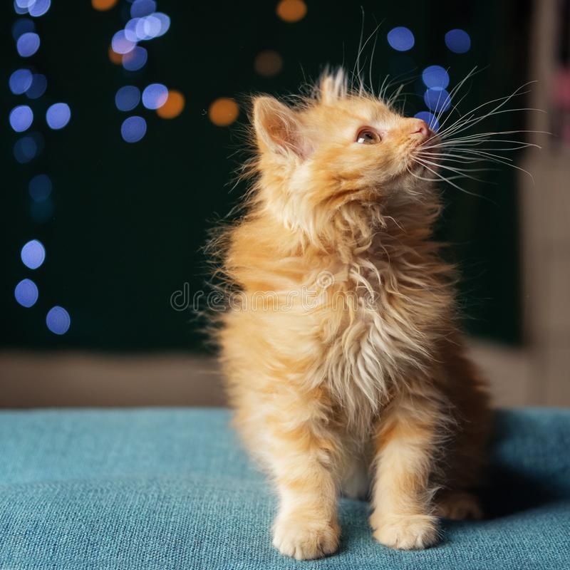 Adorable fluffy red kitten. Soft focus royalty free stock images