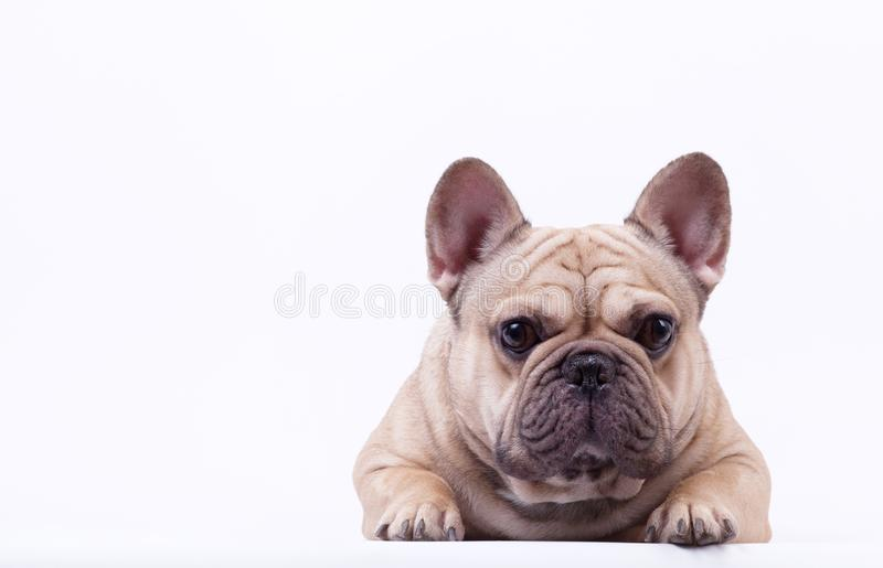 Adorable french bulldog lying on white background. royalty free stock image
