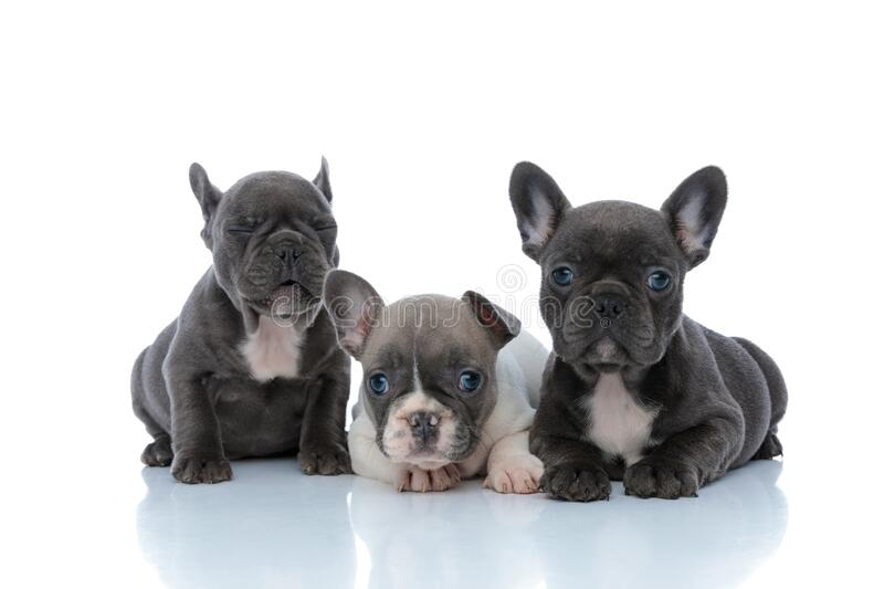 Adorable French bulldog cubs looking forward and blinking. While laying down and sitting side by side on white studio background stock photography