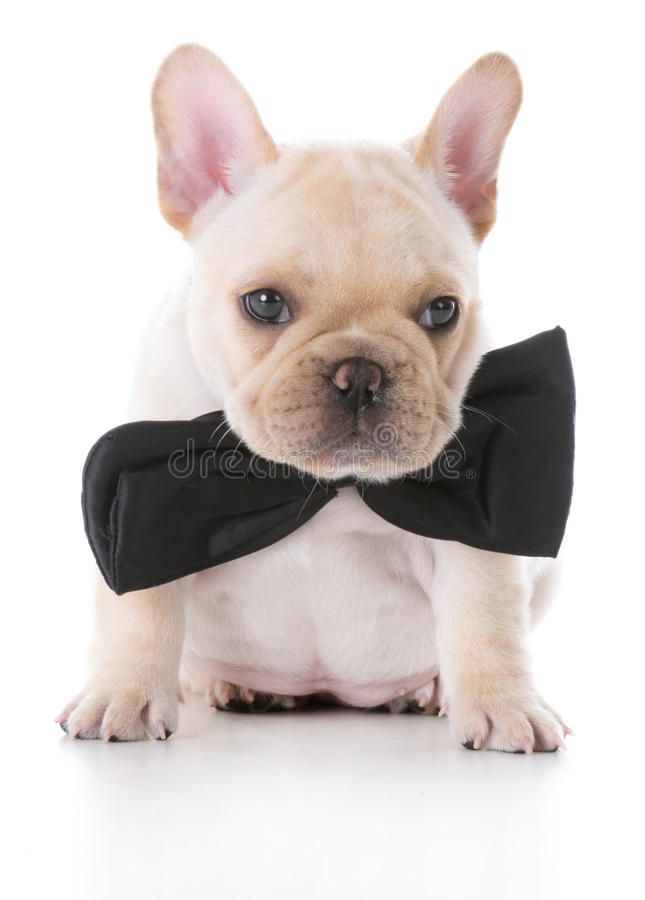 Cool Bulldog Canine Adorable Dog - adorable-french-bulldog-puppy-fawn-wearing-bow-tie-white-background-77970448  Snapshot_372096  .jpg