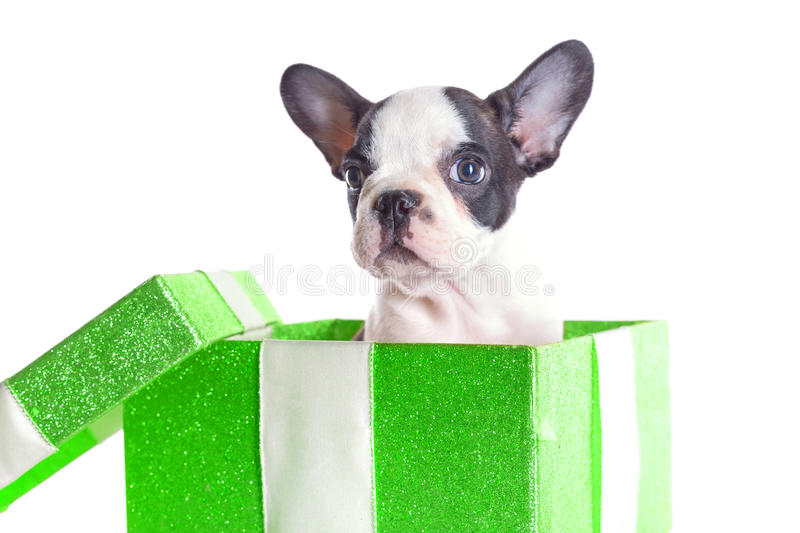 Download Adorable French Bulldog Puppy In The Gift Box Stock Photo - Image of charming, black: 31140582