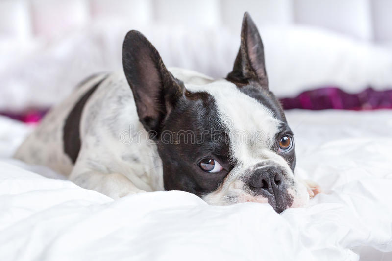 Download Adorable French Bulldog Puppy Stock Photo - Image: 33863432
