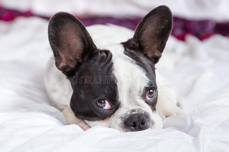 Download Adorable French Bulldog Puppy Stock Image - Image: 33863513