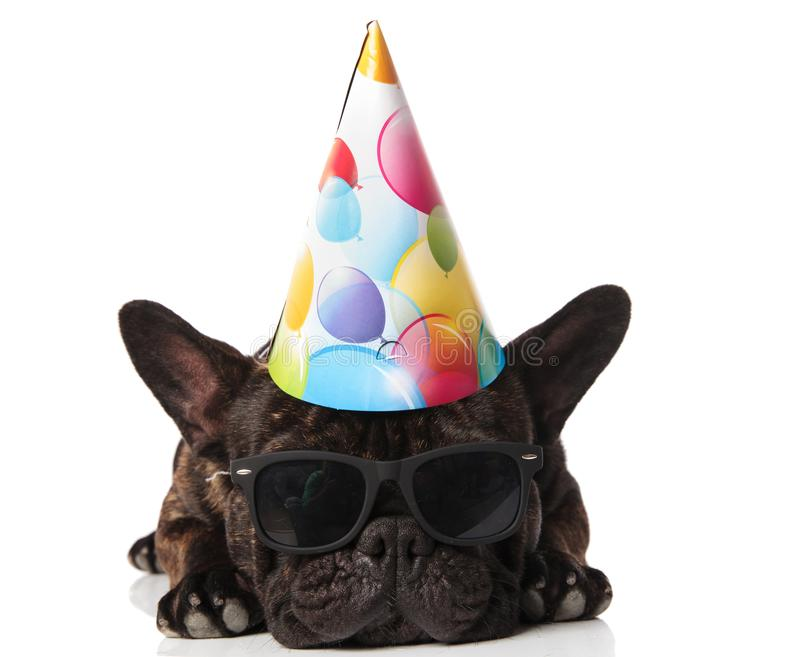 Adorable french bulldog wearing birthday hat and sunglasses resting. On white background royalty free stock image