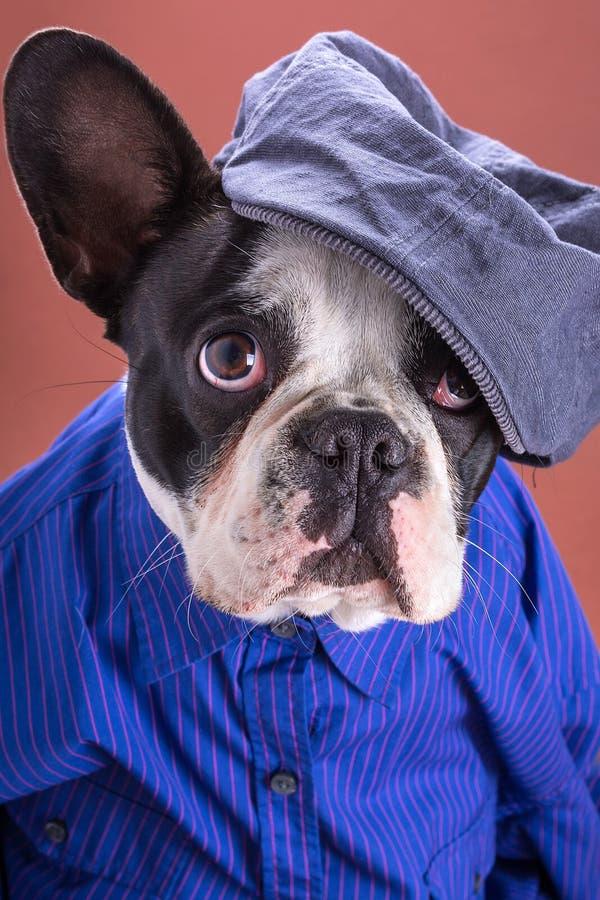 Download Adorable French Bulldog Wearing Blue Shirt Stock Image - Image of mammal, head: 34478275