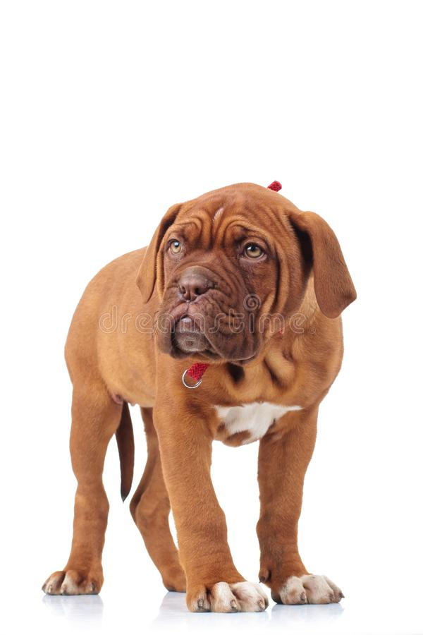 Adorable french mastiff puppy standing stock photography