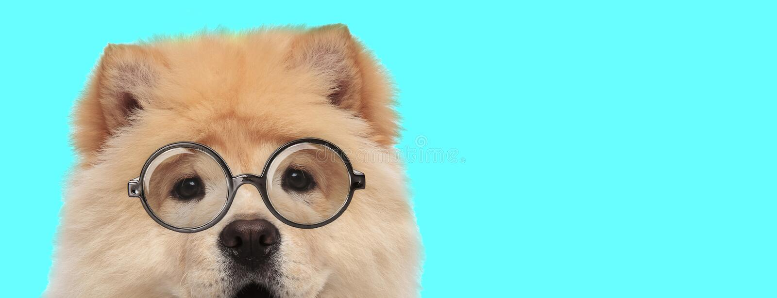 Adorable funny Chow Chow dog wearing eyeglasses stock photography