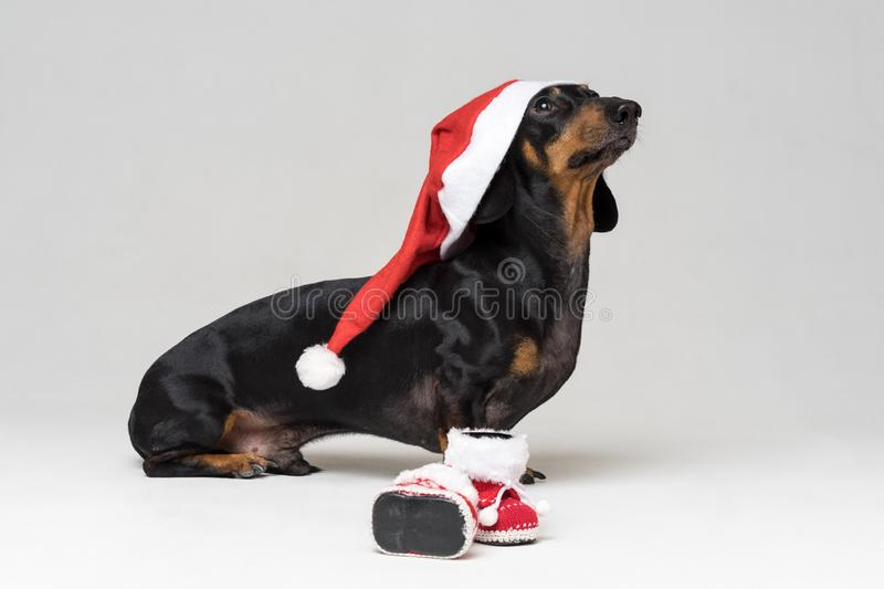 Adorable and Funny dog puppy dachshund, black and tan, wearing Santa hat ready for Christmas and New Year`s shoes celebration ag royalty free stock image