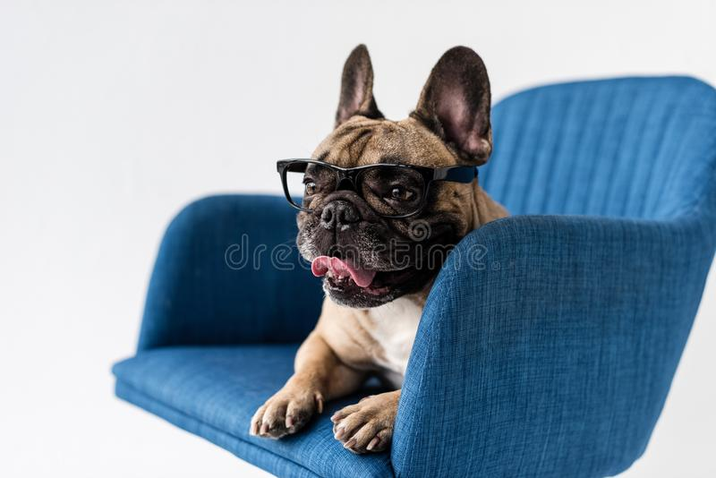 adorable funny french bulldog in eyeglasses lying on chair royalty free stock photos