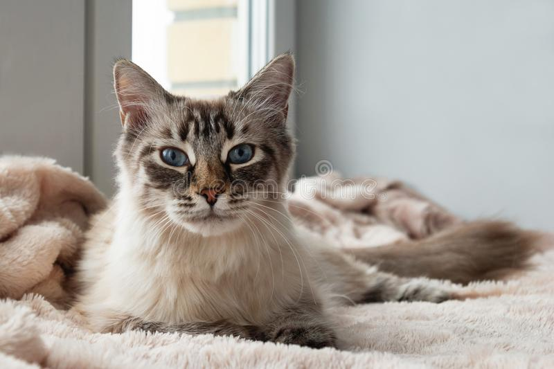 Adorable furry cat of seal lynx point color with blue eyes is lying on a pink blanket near to the window. royalty free stock images