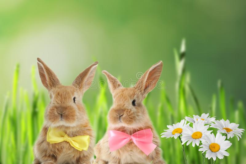 Adorable furry Easter bunnies with cute bow ties stock images