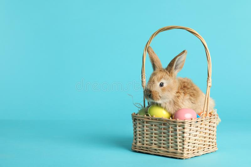 Adorable furry Easter bunny in wicker basket with dyed eggs on color background royalty free stock photography