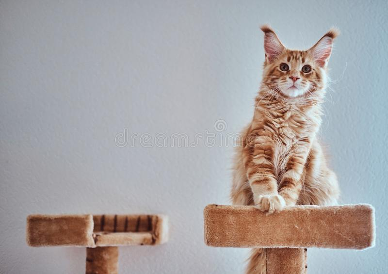 Adorable ginger maine coon kitten is sitting on special cat`s equipment.  stock photos